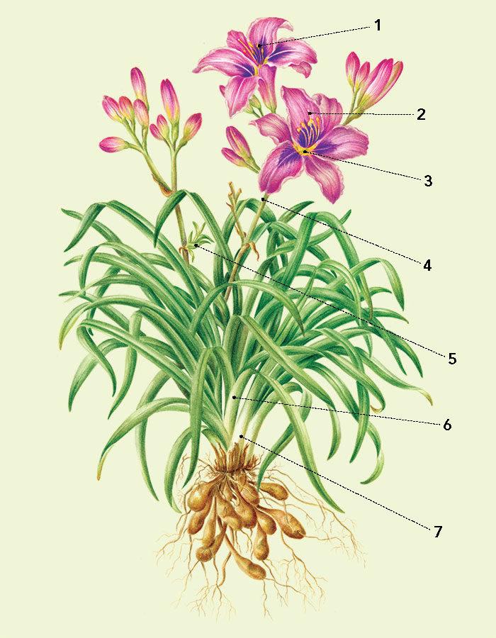 parts of a daylily