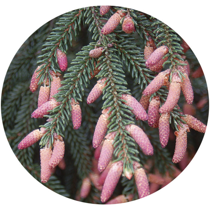 pinecones of 'Gowdy' Oriental spruce