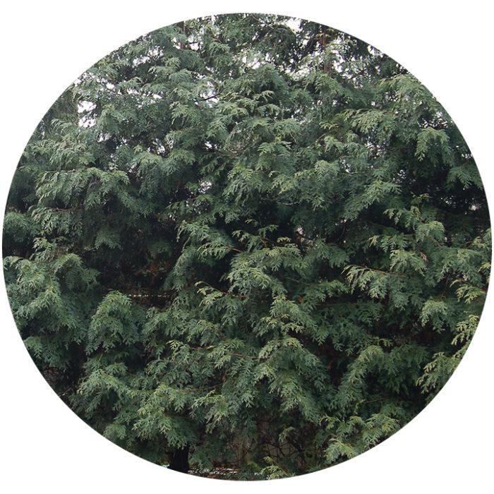 green leaves of Western red cedar