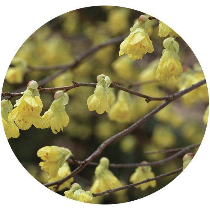 Buttercup winter hazel flowers