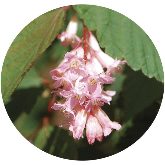 Chinese neillia flowers