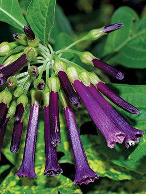 Royal Queen™ Purple iochroma