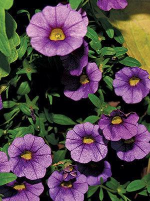 Cabaret™ Purple calibrachoa
