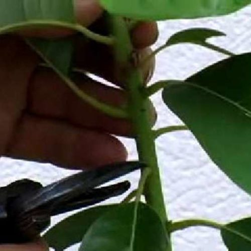Cut plant