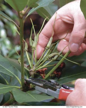 Three Ways to Prune Rhododendrons