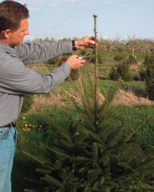 How to Prune Conifers