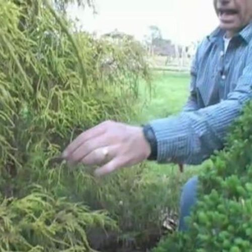 Video: Pruning Arborvitae, Junipers, and Chamaecyparis