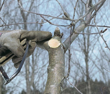 How to Prune an Old Apple Tree