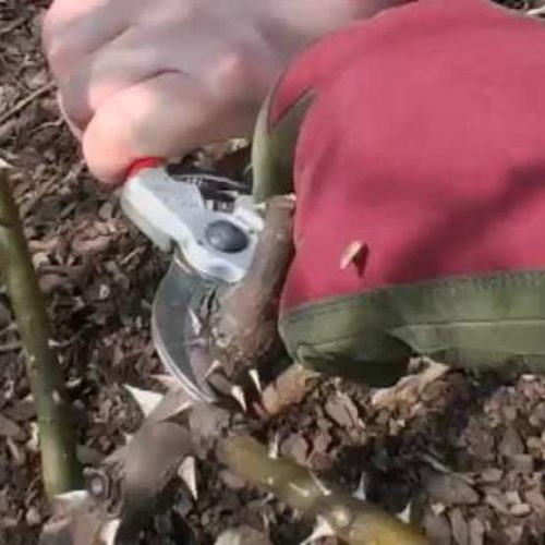 Video: Pruning Shrub Roses