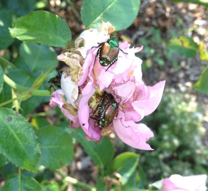 Make Your Own Natural Spray for Japanese Beetles - FineGardening