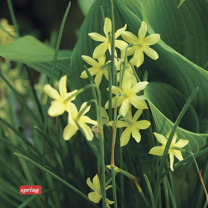 'Hawera' daffodil