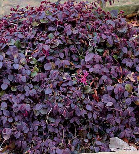 Purple Pixie® Chinese Fringe Flower