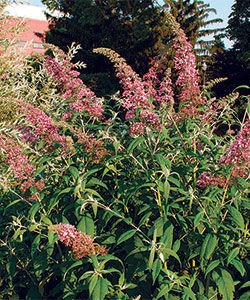 Butterly bush