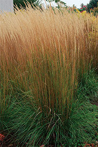 'karl foerster' feather reed grass