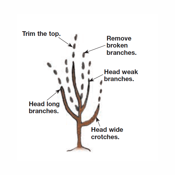 trimming the top before it blooms illustration