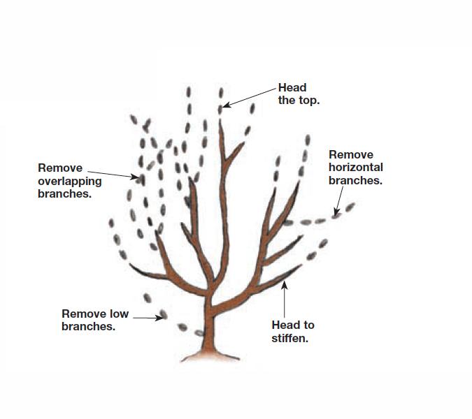 Head vigorous shoots illustration
