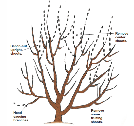 Bench-cut the shoots but not the branches illustration