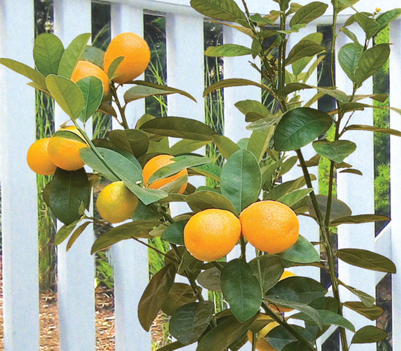 Changshou kumquat