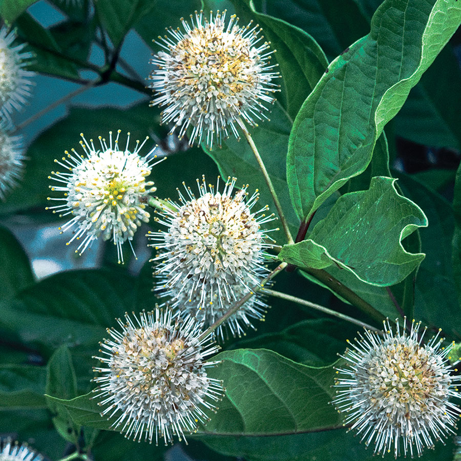 Chinese buttonbush