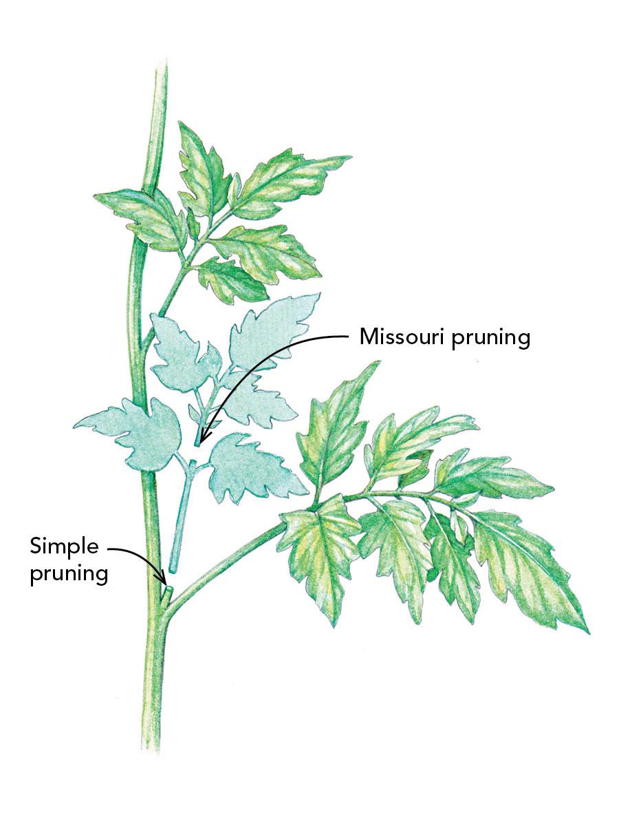 how to prune tomatoes  fine gardening magazine