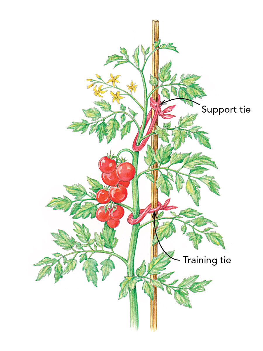 how to tie tomatoes