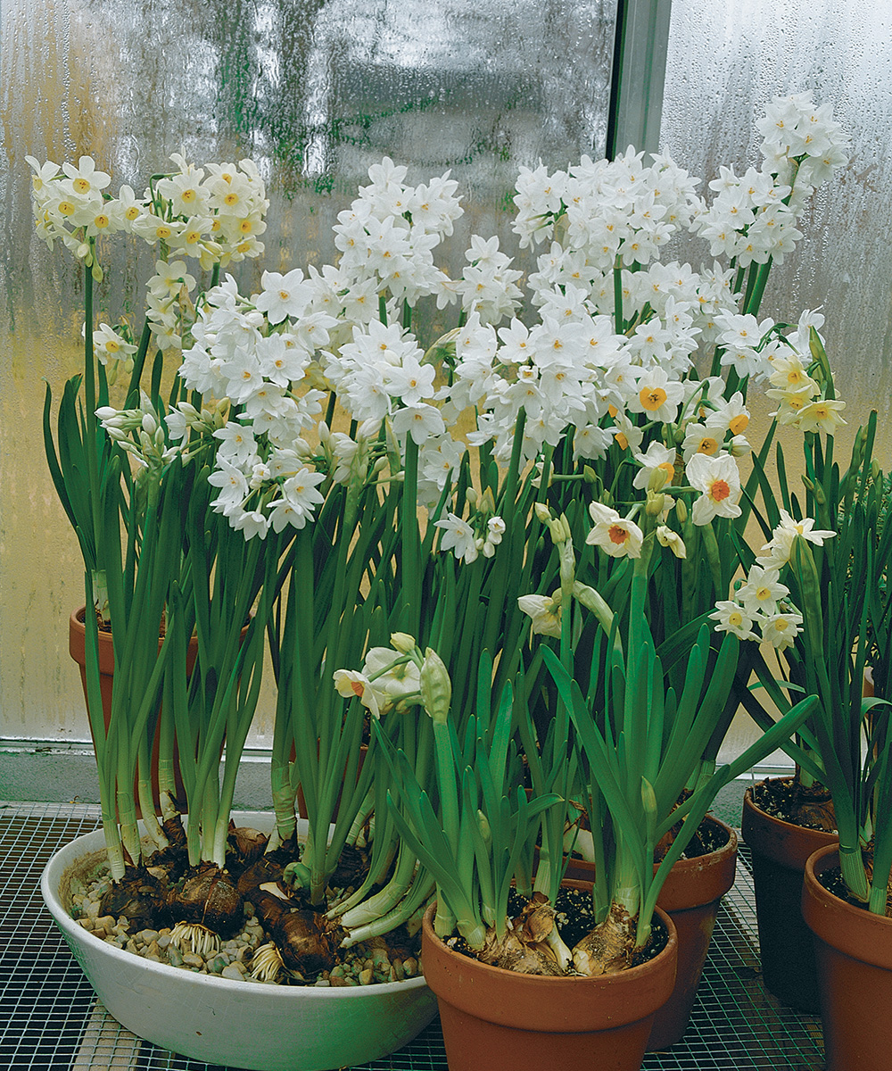 paperwhites in a window