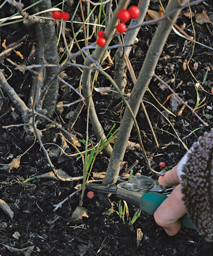 Radical pruning suits the loose form of deciduous hollies