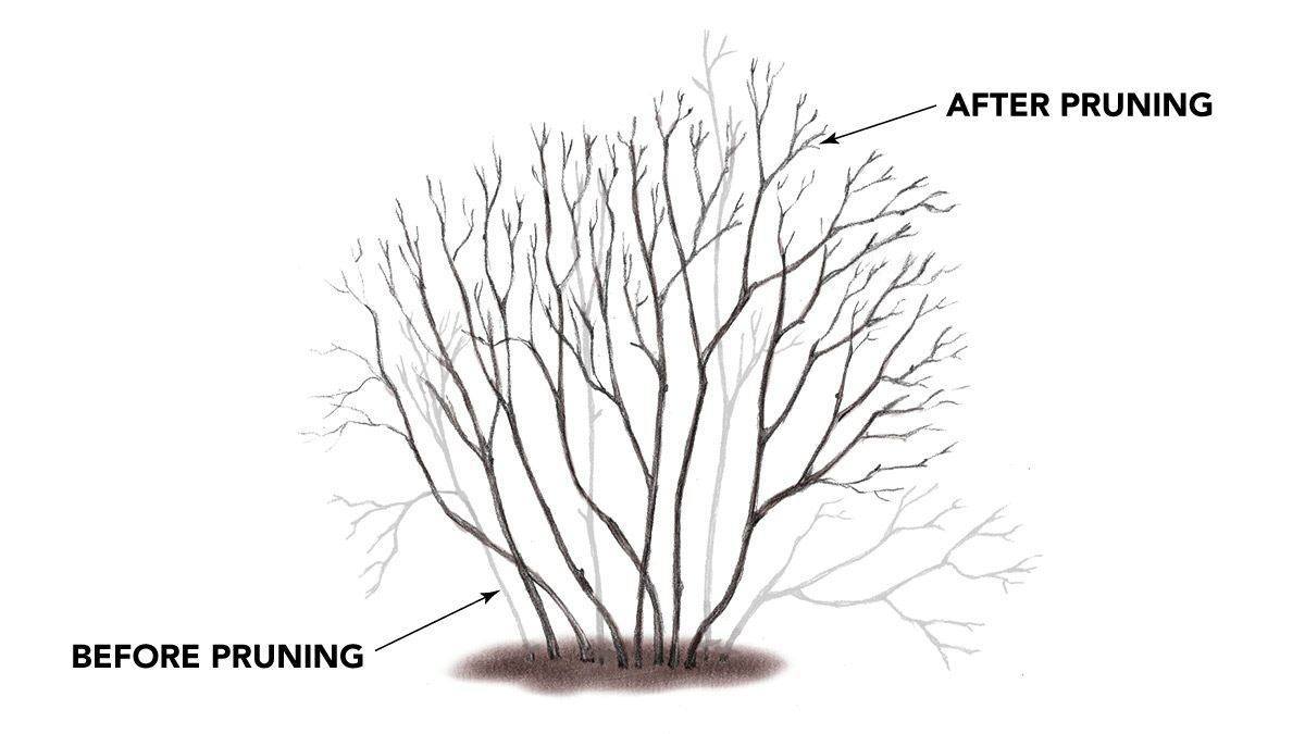 radical holly pruning illustration