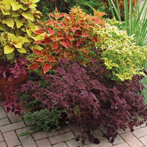 vulcan, swallowtail, and red trailing queen coleus
