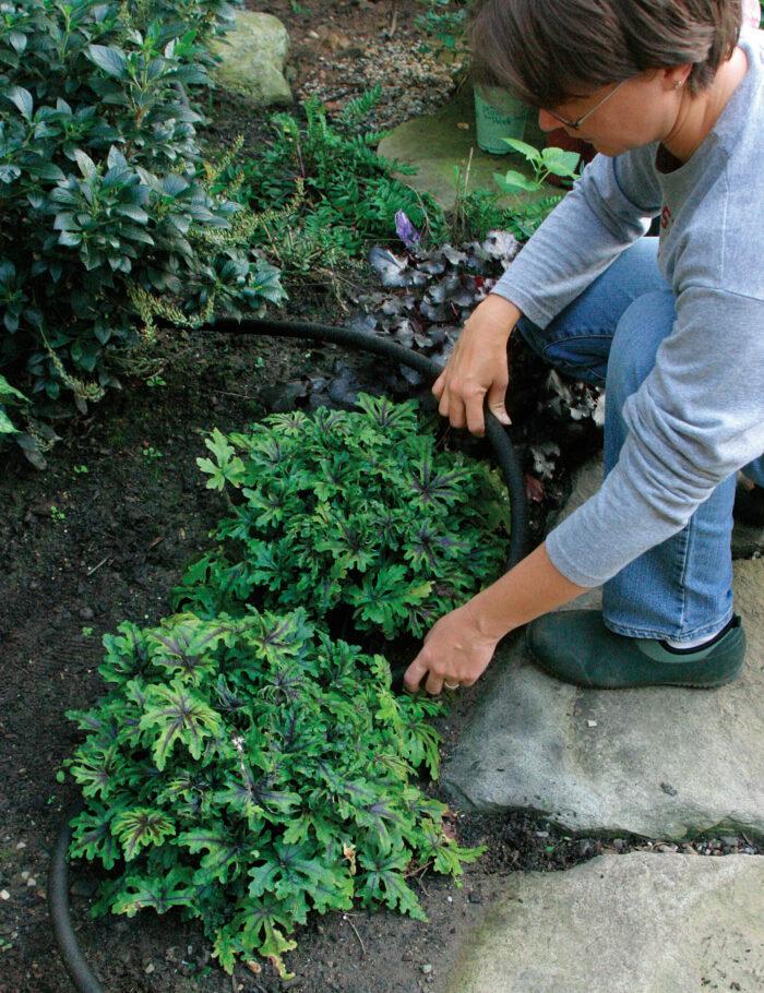 drip irrigation or soaker hoses water perennials