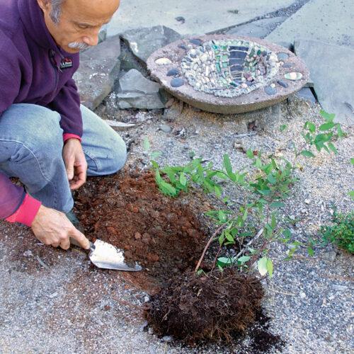 Plant the new shrub