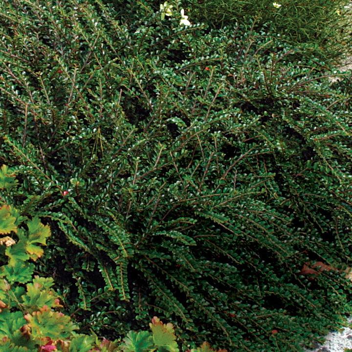 cotoneaster shrubs