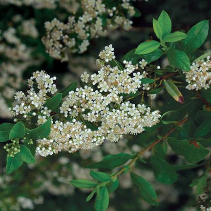 firethorn shrubs