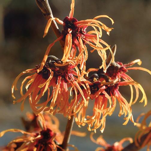 witch hazel shrubs