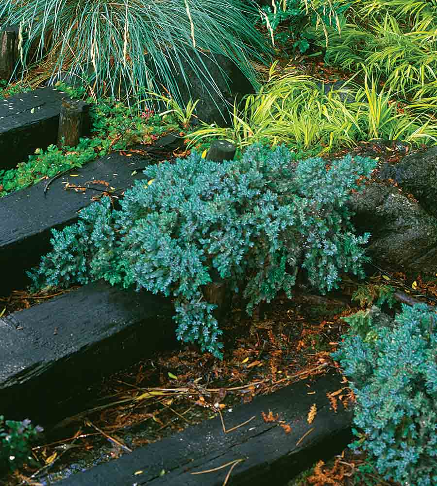 Juniperus squamata 'Blue Star
