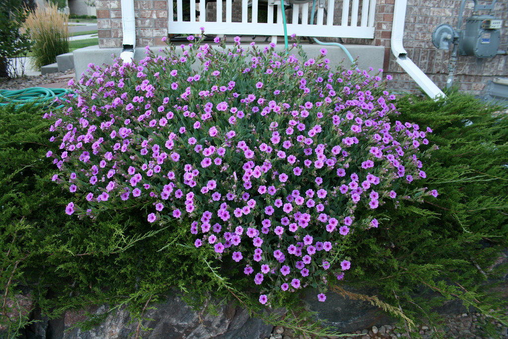 Wild four oclock finegardening mirabilis multiflora mightylinksfo