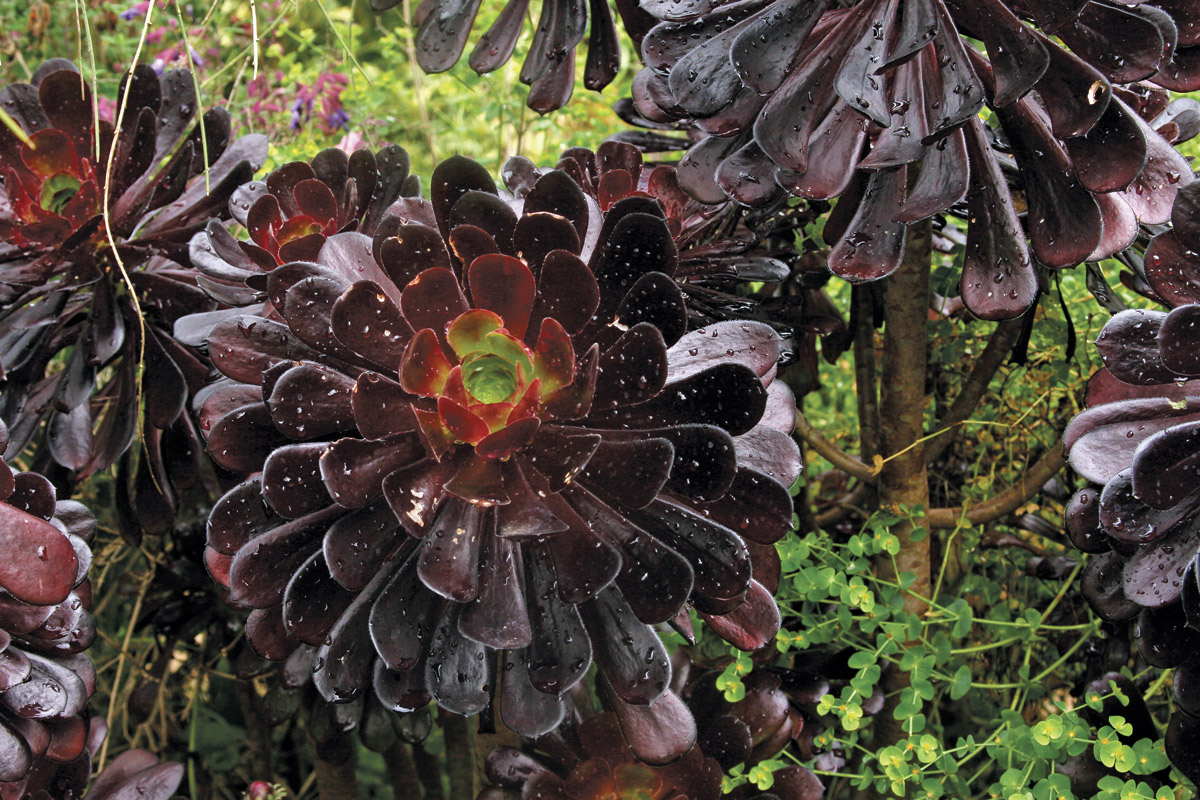 Tree aeonium (Aeonium arboreum and cvs.)