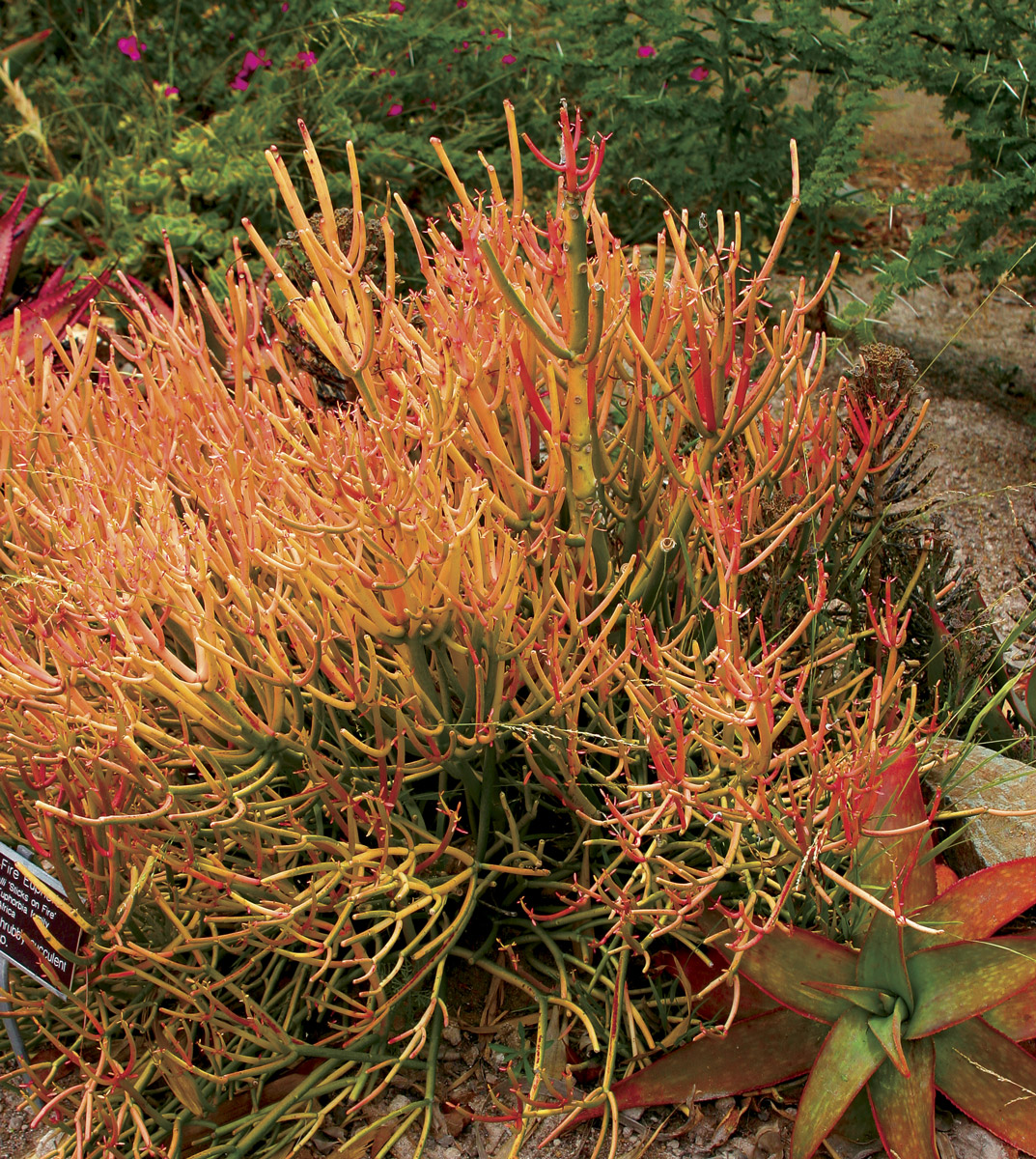 Firesticks (Euphorbia tirucalli 'Rosea')