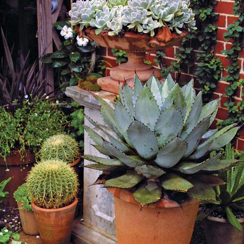 10 Outstanding Succulents Finegardening