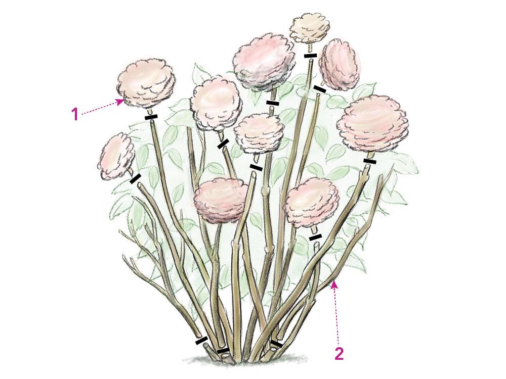 blooming hydrangeas illustration
