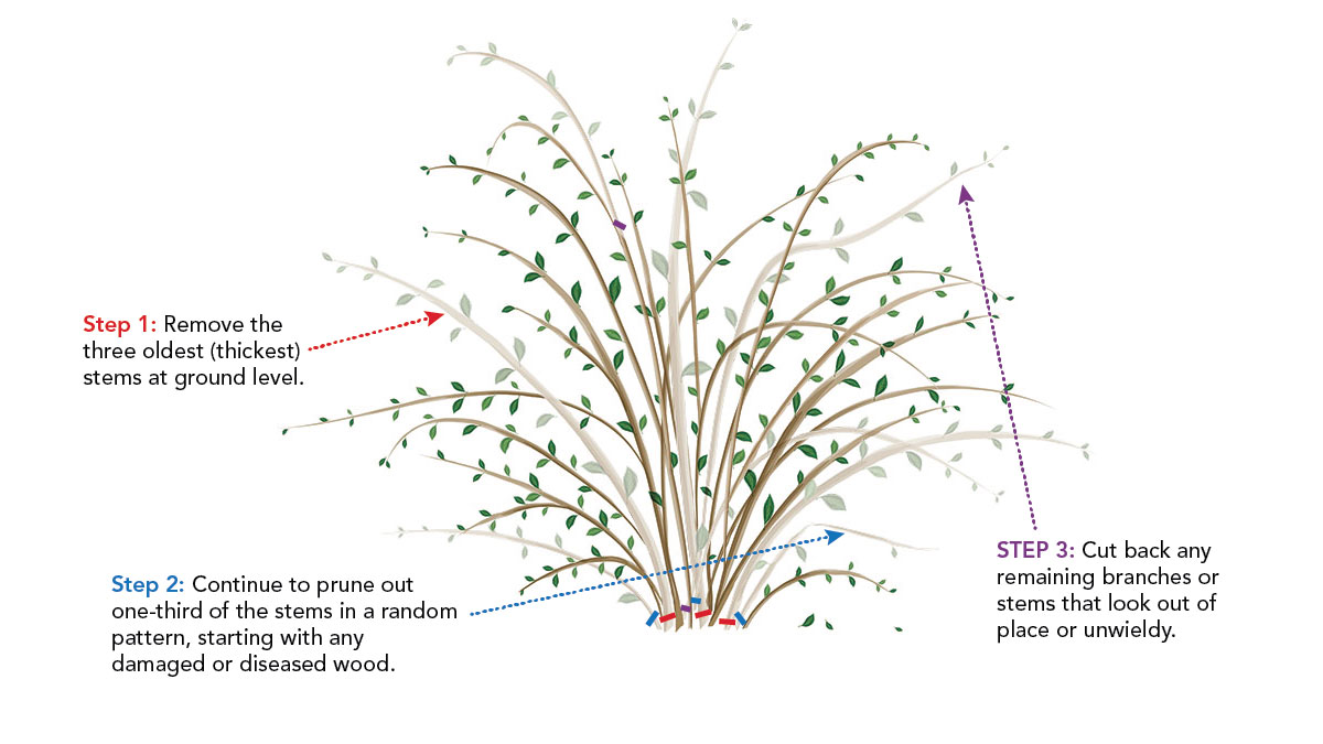 diagram showing where to prune and cut