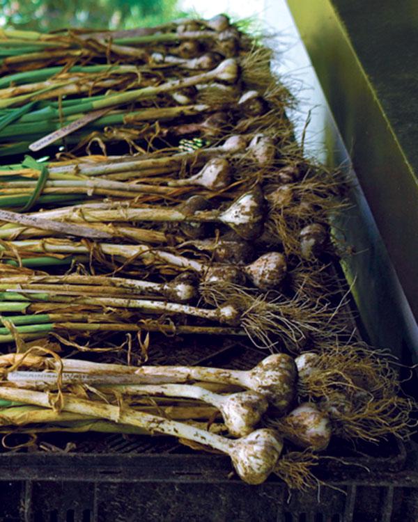 curing garlic
