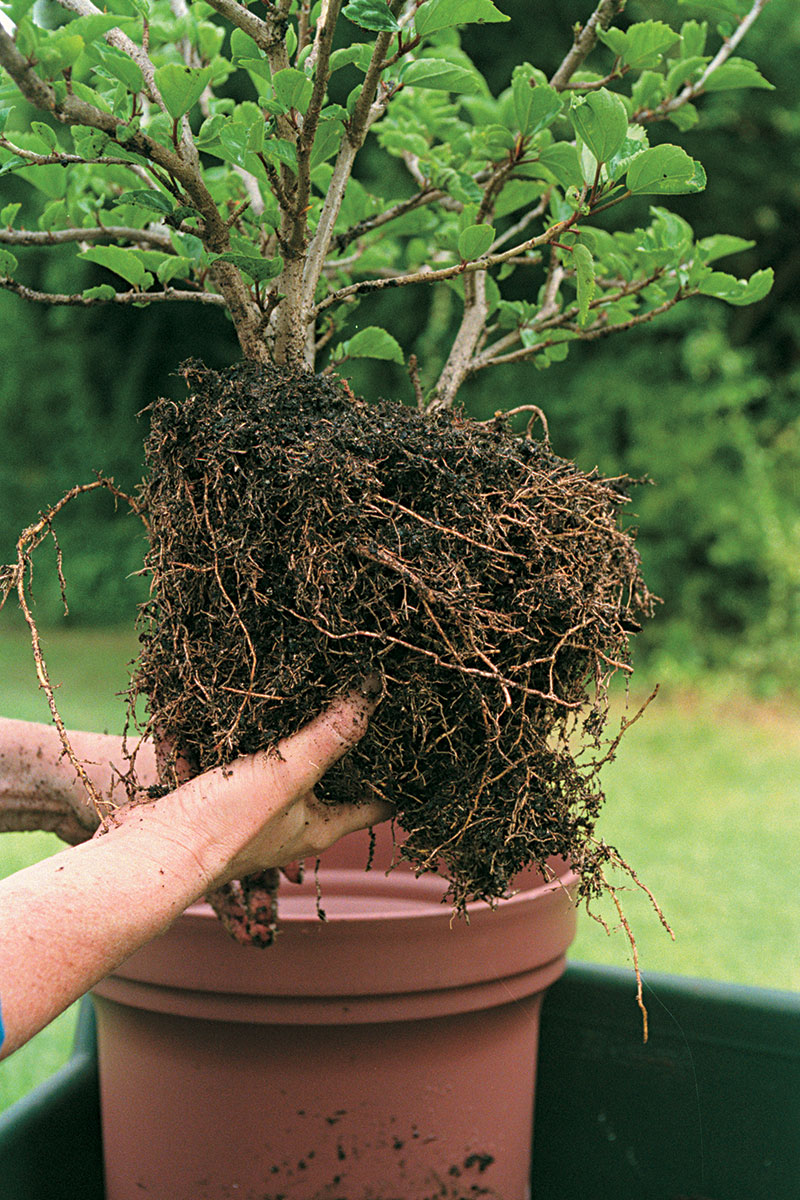 cleaning plant roots