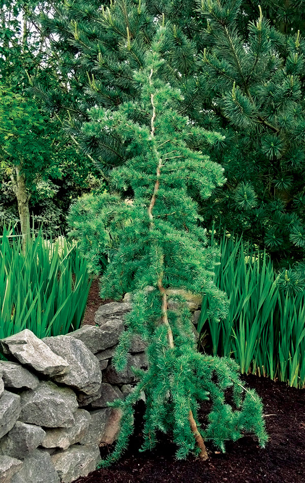 'Diana' weeping larch
