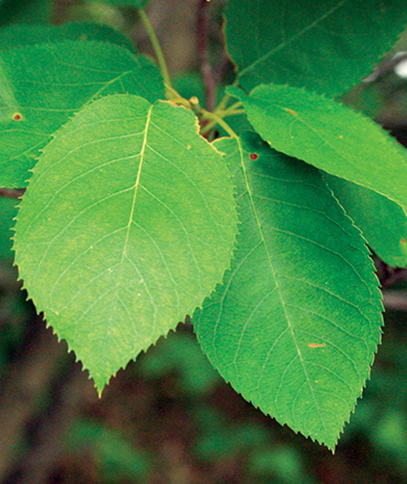Serviceberry foliage