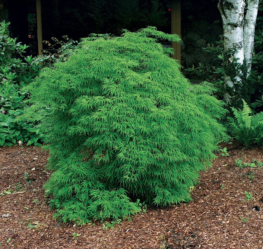 'Viridis' Japanese maple