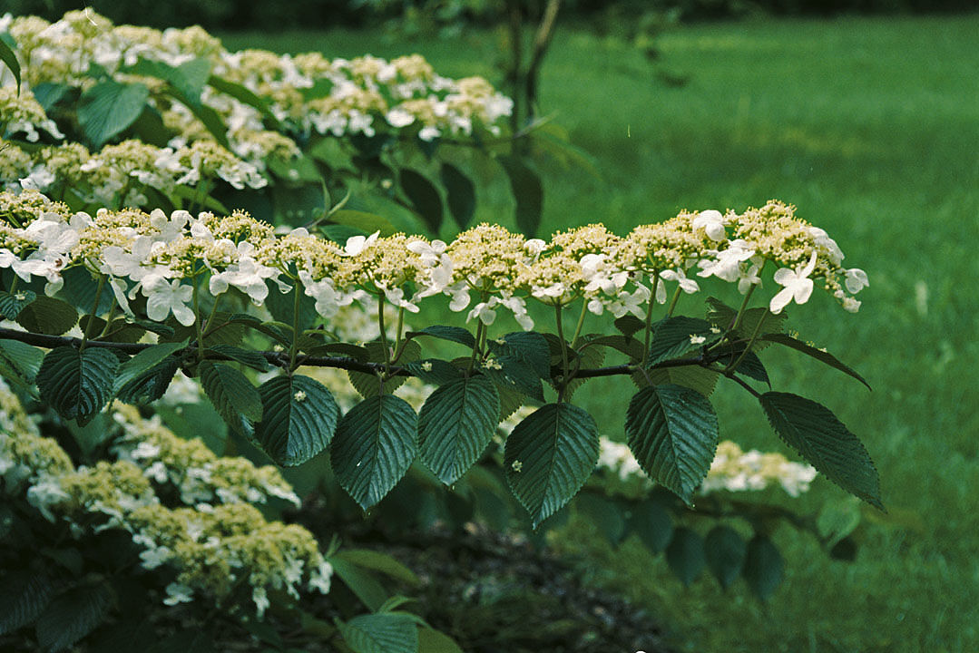 Viburnum's arrow-shaped leaves hang beneath the flowers
