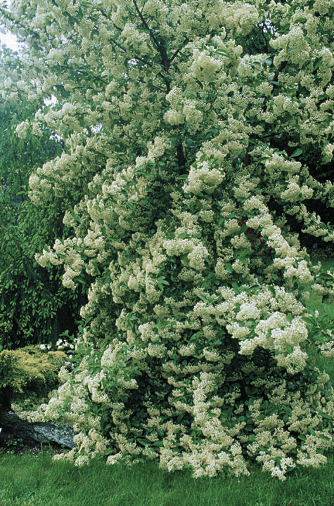 V. seiboldii, which produces profuse cream-colored blooms in spring, may reach 20 feet.