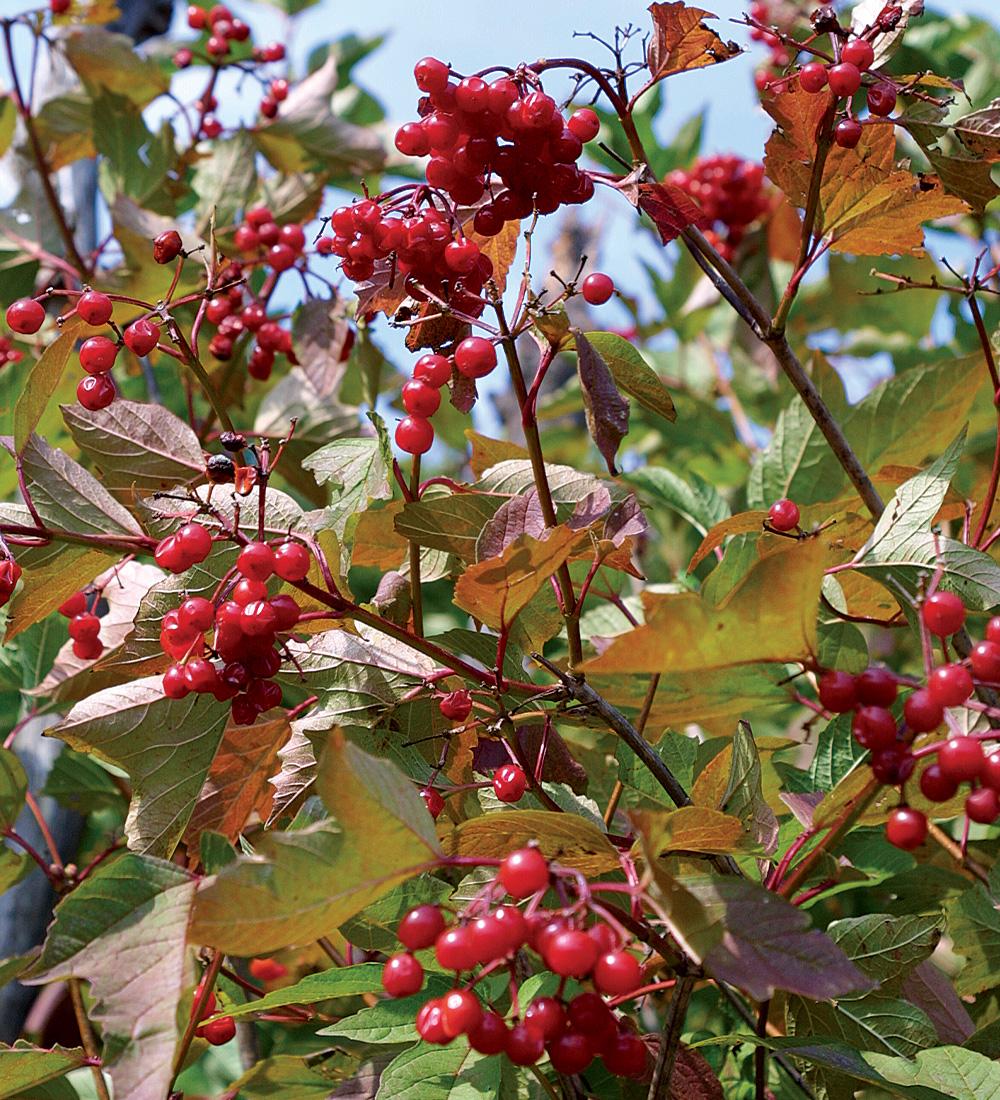 American cranberry bush viburnum