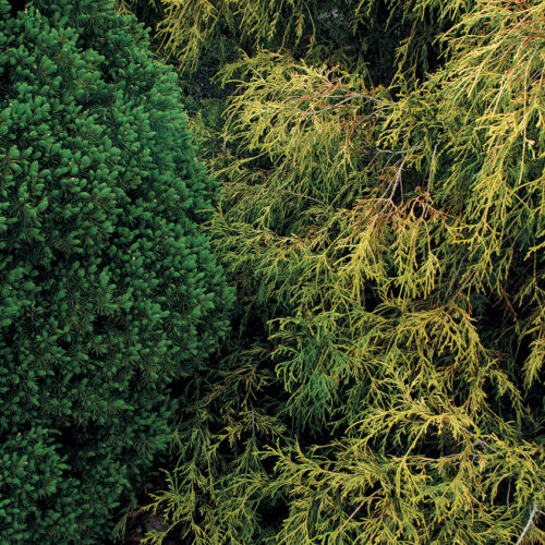 pruning conifers to control their size